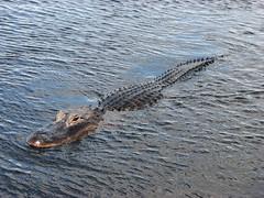 Alligator (Terry Hassan) Tags: usa nature water swim florida head reptile alligator reserve swamp everglades holidaypark wetland