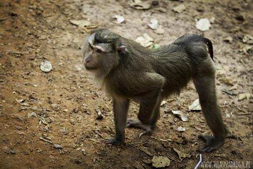 Małpka z Angkor Wat