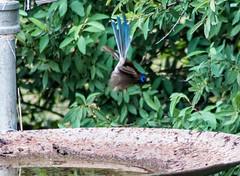 _MG_6968 (rojam1000) Tags: bird birds superb fairy finches bluefacedhoneyeater variegated wren rainbowlorikeet magpies rosellas redrumpedgrassparrots