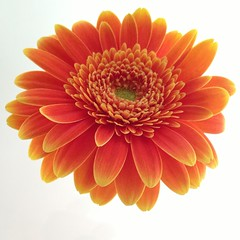 Gerbera (anitablackman49) Tags: flower gerbera orangecolor orangegerbera