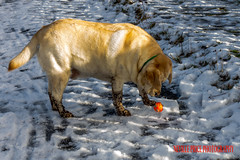 Whats This Here Then (Neville Price 3) Tags: winter orange dog snow playing cold yellow ball photo nikon labrador photograph d3100