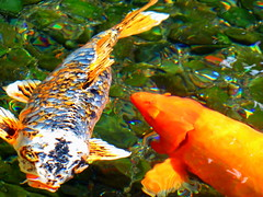 Almost abstract: Colourful Koi (peggyhr) Tags: blue orange distortion fish black green water hawaii pond koi peggyhr