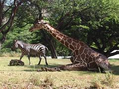 At the zoo (802701) Tags: zoo hawaii waikiki oahu zebra giraffe honoluluzoo
