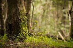 In a forest far, far away (Silver Nicte) Tags: wood patagonia naturaleza plant tree verde green planta southamerica nature argentina grass forest landscape arbol madera south paisaje pasto bosque bariloche sudamerica rionegro circuitochico
