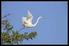 Running Start... (DTT67) Tags: bird nature canon wildlife pa nesting nationalgeographic bif egrets kiwanis greatwhiteegret 14xiii 500mmii canon1dxmkii