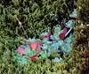 Pacific Stonecrop--Sedum spathulifolium (Polioptila caerulea) Tags: california plant succulent sedum placercounty sedumspathulifolium pacificstonecrop pacificsedum mosquitoridgerd