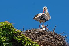 stork nest in Salem, Germany (greg luengen) Tags: bird nature animal nest natur breeding stork vogel storch