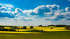Rape fields under the cloudy blue sky (lens73germany) Tags: blue sky plant color yellow clouds germany landscape deutschland heaven outdoor farm saxony farming natur pflanze felder himmel wolken olympus rape bleu gelb sachsen fields 365 blau landschaft farbe allemagne raps bunt omd photooftheday mft project365 fotodestages 365days em5 365daysproject 365tage 3652015