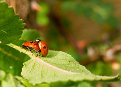 2 Spotted LadyBirds (cocabeenslinky) Tags: world life red 2 wild white black art nature birds fauna lady canon bug insect outdoors photography leaf flora power shot natural photos wildlife may powershot spots ladybug spotted sexual florafauna shagging copulating 2016 adalia g15 2punctata cocabeenslinky