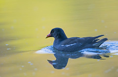 Gallinule poule-d'eau (kingfisher001) Tags: rouge bec common moorhen gallinule eaux gruiformes douces rallids