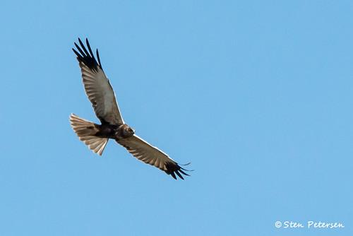 Rørhøg - Marsh Harrier - Circus aeroginosus