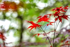 New maple leaves (JPShen) Tags: new light red green leaves leaf maple colorful bokeh