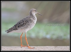 #photography ##bir#bird #birds #portrait #bokeh #EPAA #uae #sharjah #epaashj     #___ #__ # # # # # # # # (alrayes1977) Tags: portrait bird birds photography bokeh uae sharjah bir      epaa     epaashj