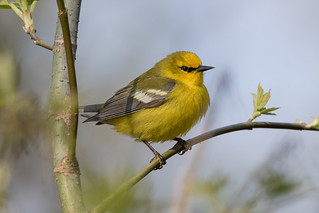 Blue-winged Warbler (male)
