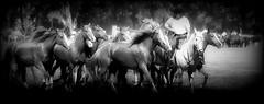 Don Risueo (Eduardo Amorim) Tags: horses horse southamerica argentina criollo caballo cheval caballos cavalos pferde herd cavalli cavallo cavalo gauchos pferd ayacucho chevaux gaucho cavall  amricadosul gacho amriquedusud provinciadebuenosaires  gachos  sudamrica suramrica amricadelsur sdamerika crioulo caballoscriollos criollos  tropillas buenosairesprovince americadelsud tropilhas tropilla crioulos cavalocrioulo americameridionale tropilha caballocriollo eduardoamorim cavaloscrioulos