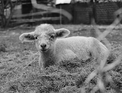 Lamb (Klaudia D. P.) Tags: pet white black cute monochrome beautiful animal composition fence spring sheep bokeh wildlife fluffy lamb