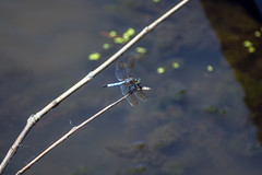 blue dasher (Black Hound) Tags: dragonfly sony a500 minolta bug insect bluedasher