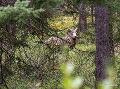 IMG_9268 (Scott Martin Calgary) Tags: ca trees canada animals alberta lakeminnewanka improvementdistrictno9