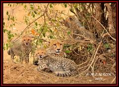 FEMALE CHEETAH WITH HER CUBS (Acinonyx jubatus).....MASAI MARA....OCT 2015. (M Z Malik) Tags: africa nikon kenya wildlife ngc safari npc masaimara maraserena d3x cheetahfamily transmara flickrbigcats exoticafricancats exoticafricanwildlife 200400mm14afs