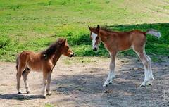 Fohlen (welenna) Tags: animals tiere foal fohlen