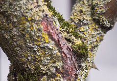 Lichen & Moss Tree Trunk (Orbmiser) Tags: tree oregon portland moss spring nikon trunk lichen d90 55200vr