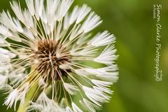 Make a wish...... FE (Simon Clarke Photography) Tags: white macro green simon canon seed dandelion seeds harlow essex clarke 80d simonclarkephotography