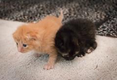 IMG_9448 (jaglazier) Tags: usa cats playing cute animals babies unitedstates tiger may indiana kittens siblings bloomington mammals blackie 2016 52416 copyright2016jamesaglazierandjamesaferguson