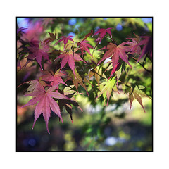 king maple  kyoto, kansai  2015 (lem's) Tags: colors japan maple kyoto minolta couleurs kansai japon autocord erable