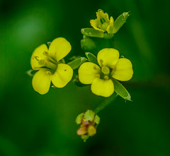 Yellow Blooms (vernonbone) Tags: flowers ontario closeup garden lens outside backyard nikon sigma springtime 2016 d3200 marco105mm june2016 flowersupclosemacro marco105mmsigma