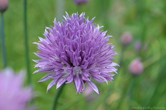 Purple clover - trifolium repens (Sandra Kirly Pictures) Tags: flowers flower spring outdoor poland warsaw botanicalgarden warszawa ogrdbotaniczny
