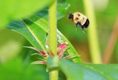 wild coffee (Triosteum aurantiacum at Lake Meyer Park IA (lreis_naturalist) Tags: park county flowers wild lake coffee reis iowa bumblebee larry meyer pollinating triosteum aurantiacum winneshiek