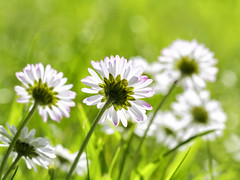 Daisies (kunstschieter) Tags: flower nature spring natuur daisy lente bloem madeliefje