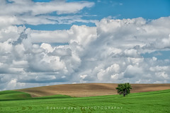 The Lone Tree (DeniseDewirePhotography) Tags: sky field clouds washington wheat dirt pullman lonetree tiretracks thepalouse