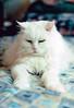 Delilah on Comforter (kevin63) Tags: cats photoshop photos myrtle delilah lightner lingling briars