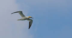20160616-7D2L6806 (ndall) Tags: birds scilly gannet