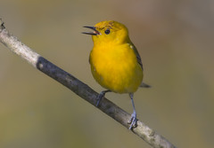 Prothonotary Warbler (Hockey.Lover) Tags: ohio birds prothonotarywarbler mageemarshboardwalk ohio2016