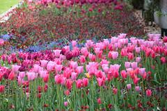 Tulips (Maria Eklind) Tags: park city flowers summer flower green colors leaves se spring europe sweden outdoor sverige malm pildammsparken skneln