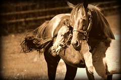 a mothers love (mulligan.janice) Tags: foal horse mother mare colt racehorse