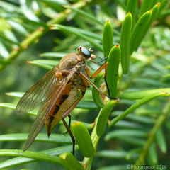 Marsh Snipe Fly (Rhagio tringarius) (Photospool) Tags: tree green nature pine insect fly marsh diptera snipe rhagio tringarius