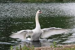 Mute Swan (Cygnus olor) (Jeff G Photo - 2m+ views! - jeffgphoto@outlook.com) Tags: park lake bird water birds swan pond southpark swans waterfowl muteswan muteswans cygnusolor southparkilford