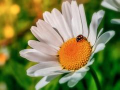 Fancy ladybug (Sergio '75) Tags: naturaleza flower green nature colors sergio closeup canon eos colorful dof natur naturallight natura daisy ladybird ladybug softfocus margherita canonef2470mmf4lisusm canoneos70d sergio75