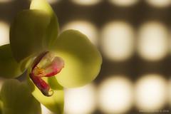 Orchidea gialla (Eleonora Cacciari) Tags: stilllife flower natural naturallight luci fiore luce emiliaromagna pianta cavalletto lucenaturale treppiede orchideagialla canonefs18135mmf3556isstm eos1200d eleonoracacciari ecacciari shotbyecacciari
