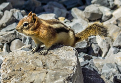 golden mantled ground squirrel - banff NP, canada (AB) 9 (Russell Scott Images) Tags: canada ab alberta banff rodents banffnationalpark goldenmantledgroundsquirrelcallospermophiluslateralis