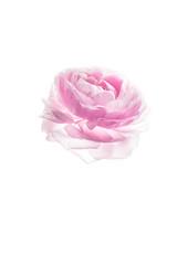 The Ranunculus (NewDay (ND)) Tags: pink light flower high key ranunculus fresh