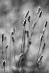 Endless Questions (belleshaw) Tags: blackandwhite plant detail nature grass bokeh meadow seeds blooms oakglen losriosrancho repostduetotechnicalissues