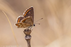 El pequeo pegaso (juanmatruji) Tags: summer espaa beauty butterfly insect spain bugs almera anotherworld onrico albox vintagelenses tamronadaptallsp9025macro