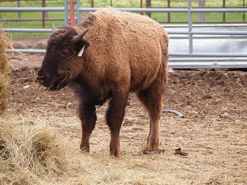 Buffalo Calf Winter Camp, Bison from Elk Island National Park