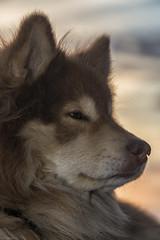 vin (sami kuosmanen) Tags: suomi sky summer sun sunset finland forest flash foto taivas tuulos oksjrvi bokeh kes koira dof dog portrait animal perro lapinkoira