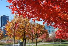 fall_256 (Sascha G Photography) Tags: autumn trees toronto color tree fall leaves leaf nikon seasons waterfront lakeshore indiansummer d60