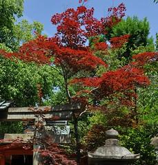 Red Japanese Maple near Yasaka Shrine, Kyoto (davidparratt) Tags: tree japan kyoto japanesemaple